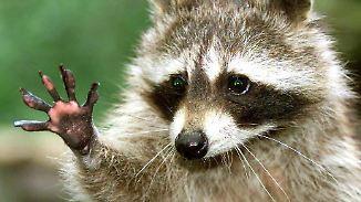 Kein Bleiberecht für Waschbär & Co.: Zoos kämpfen gegen EU-Verordnung