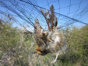Ein Rotkehlchen hängt aufZypern in einem Netz fest.