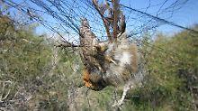 Viele Zugvögel kommen nie an: Rotkehlchen als teure Delikatesse
