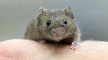 Bei Mäusen und Ratten: Nasenatmung erzeugt Rhythmus im Gehirn