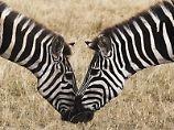 Erinnerung als Kompass: Wie orientieren sich Zebras?