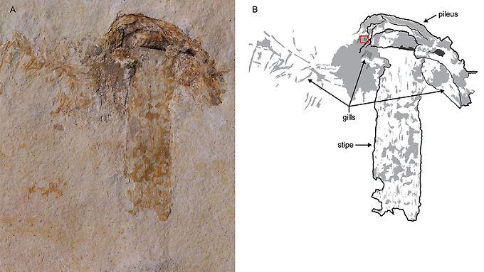 Der älteste fossile Pilz der Welt wurde in Kalkstein konserviert - ein außerordentlich seltenes Ereignis, sagen die Forscher.
