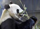 Meng Meng und  Jiao Qing kommen: Berlin fiebert den Pandas entgegen