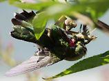 Hier hat die Gottesanbeterin einen Rubinkehl-Kolibri erwischt.