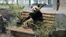 Staatsakt für Bären aus Fernost: Pandamania mit Frühlingsröllchen