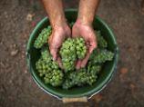 Der Wein Martin Luthers: IN ARBEIT Alte Rebsorten sind so gefragt wie nie