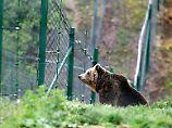 In Deutschland gibt es sie fast nur in Zoos. In Rumänien sind Braunbären bitterer Ernst.