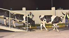 Schwarzweiß gefleckte Luftbrücke: 165 deutsche Holstein-Kühe landen in Katar
