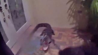 Bissiger Besuch in Florida: Polizist bändigt Alligator mit bloßen Händen