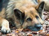 Zucht mit Folgen für Gesundheit: Deutsche Schäferhunde leiden fürs Aussehen
