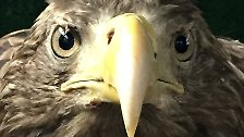 """""""Häufige Todesursache von tot aufgefundenen Seeadlern ist die Bleivergiftung"""", ergänzt der Nabu-Experte."""