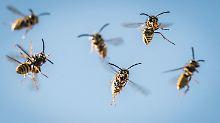 Nur zwei Arten fressen mit: Wespen sind echte Nervlinge