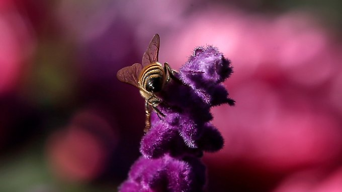 Das Aussterben der Bienen hätte weitreichende Konsequenzen für die Menschen.