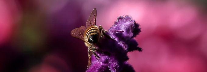 Wenn die Bienen aussterben, wird es auch für die Menschen schwer.