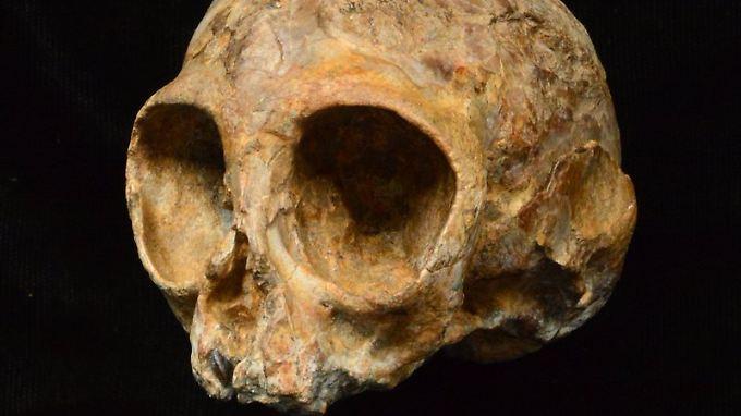 Alesi, der Schädel der  ausgestorbenen Affenart Nyanzapithecus alesi (KNM-NP 59050).