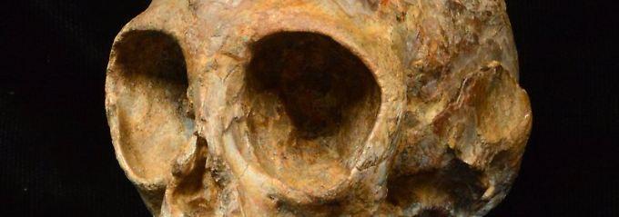Fundsache, Nr. 1357: 13 Millionen Jahre alter Primaten-Schädel