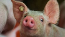 Forscher nehmen große Hürde: Hoffnung auf Schweine als Organspender