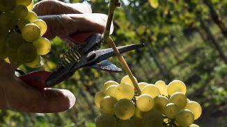 Qualität vor Quantität: Weinlese startet in diesem Jahr besonders früh