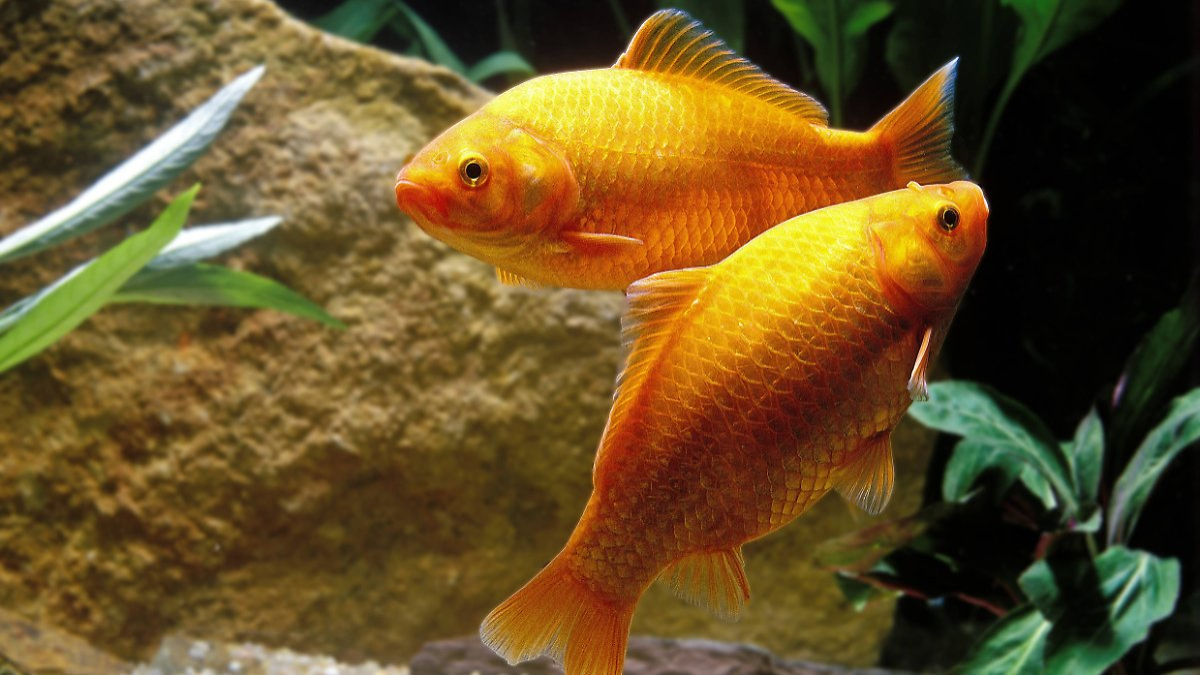 Alkohol hilft beim berleben goldfische ertragen winter for Fische in teichen