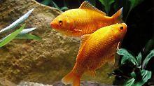 """Alkohol hilft beim Überleben: Goldfische ertragen Winter nur """"betrunken"""""""