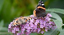 Monokulturen und Überdüngung: Schmetterlinge und Feldvögel werden selten