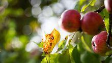 """""""Nervenspiel"""" beim Getreide: Apfelernte schlecht wie seit 25 Jahren nicht"""