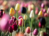 """Verrückt nach Blumenzwiebeln: Wie schlimm war das """"Tulpenfieber""""?"""