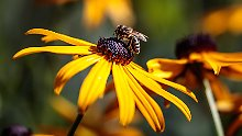 Lage der Bienen ist ernst: Summ, summ, summ - wie lange noch?