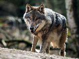 Abschuss als letztes Mittel: Wie geht Deutschland mit Wölfen um?