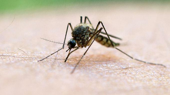 Eine fiese Stechmücke.