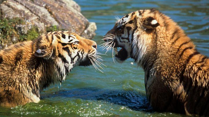 Sibirische Tiger sollen sich in Kasachstan bald wieder wohl fühlen.