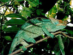 Die Tierwelt Madagaskars ist reich an exotischen Geschöpfen, wie hier einem Chamäleon.