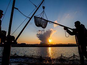 """Peitzer Fischer befestigen kurz nach dem Sonnenaufgang ein Netz mit einem Teil der """"Karpfenernte""""."""