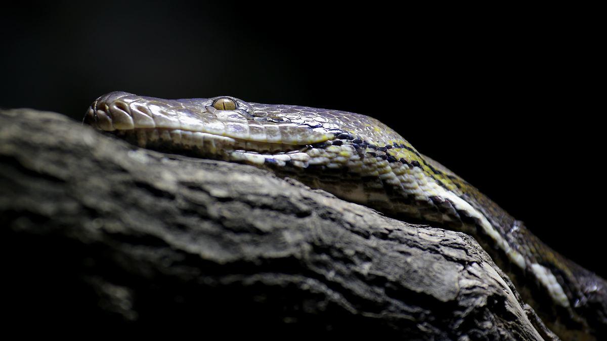 Riesen Python