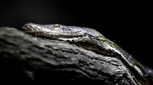 Fast acht Meter langes Reptil: Indonesier erlegt Riesen-Python