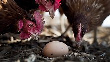 Suche nach Krebsmedikament: In Japan wird das Ei zum Zuchtlabor