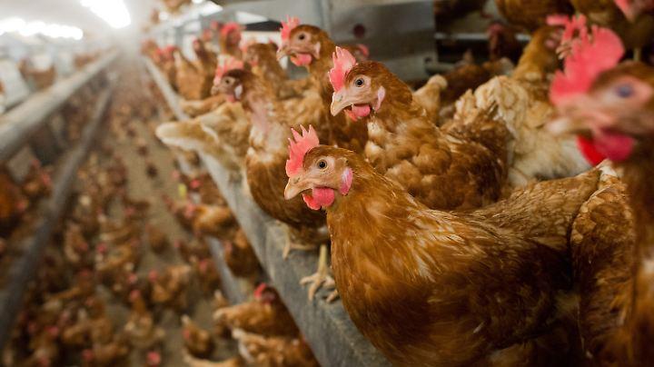 Deutsche Eierbetriebe können derzeit nur knapp 70 Prozent der Nachfragen im Inland bedienen.