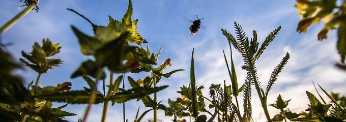 Feldränder, die nicht pestizidbelastet sind, werden immer kleiner und seltener.
