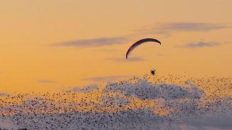 Extremsportler im Zug gen Süden: Paraglider segelt mit Vogelschwarm über Dänemark