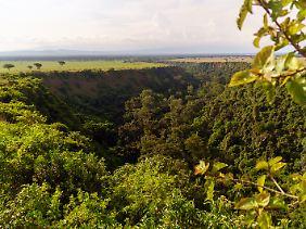 Die Kyambura-Schlucht ist eine Senke in der Savanne und Heimat einer kleinen Schimpansen-Population. Die meiste Zeit halten sich die Affen im Regenwald auf, doch manchmal begeben sie sich in offenes Terrain.
