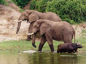 Büffel vor Elefanten:Eine Bootsfahrt auf dem Kazinga-Kanal zeigt reichlich gute Fotomotive.