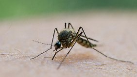 Mücken übertragen den Malariaerreger.