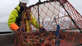 Krabbelndes Gold auf dem Meeresboden: Schneekrabbe wird zum Renner in der Fischtheke