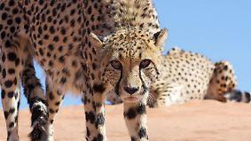 n-tv Dokumentation: Großkatzen - Wilde Jäger 2