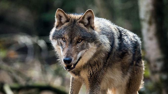 Dieser Wolf lebt in einem Gehege in Brandenburg.