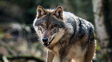 Ausbreitung im Osten und Norden: Zahl der Wolfsrudel in Deutschland steigt