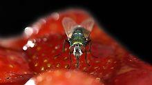 Nur lästig oder gefährlich?: Fliegen übertragen mehr Krankheitserreger