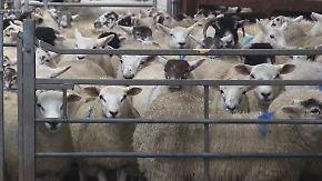Codierte Daten im Fell: Schottische Züchter setzen Spezialfarbe gegen Schafdiebe ein