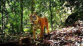Junges Tigermännchen im Gunung-Leuser-Nationalpark auf Sumatra.
