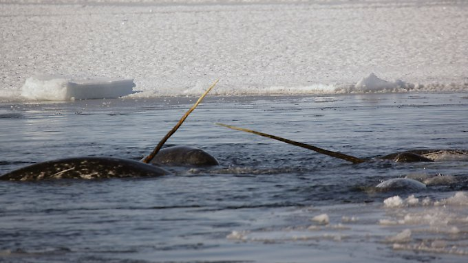 Narwale sind gut erkennbar an ihrem langen Horn.